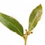 Folhas de Oliveira têm propriedades antivirais e antibacterianas.