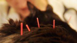 Acupuntura em Pets, é somente enfiar agulhas?