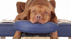 Quiropraxia é Indicada Para Cães?