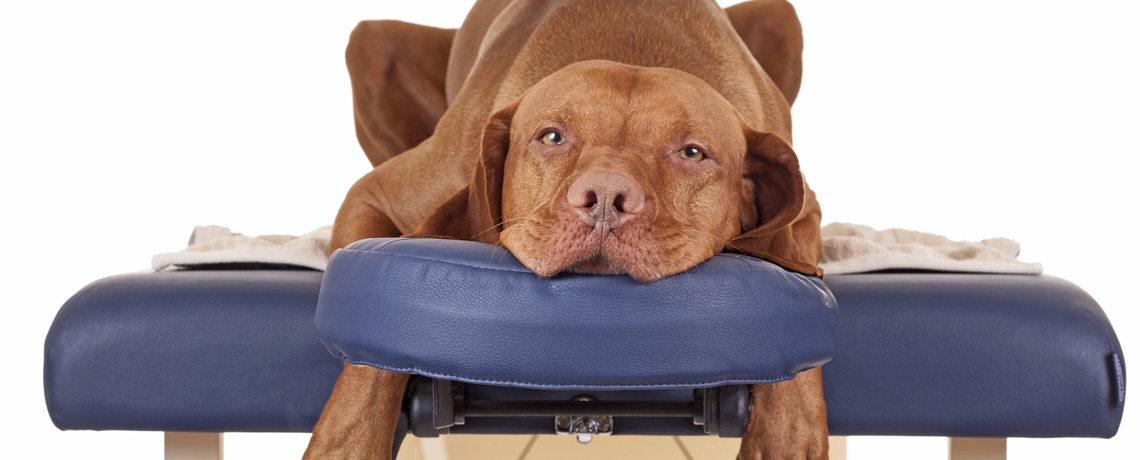 Quiropraxia em cães.